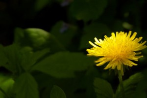 dandelion-S
