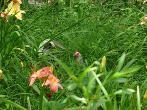 chickens-weeding-P1090244-M